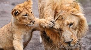 Cub, Lion, Wild Cat HD Wallpaper ...