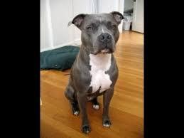 blue pitbull terrier. Modren Blue For Blue Pitbull Terrier