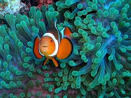 different colored clown fish. Contemporary Clown If You Get Close Enough Can Tell Them Apart By Counting The Number Of  Dorsal Spines On Their Backsu2014the Orange Clownfish Has 10 And Ocellaris  Intended Different Colored Clown Fish