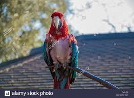 featherless parrot. Beautiful Featherless A Funny Featherless Parrot  Stock Image For Featherless Parrot R