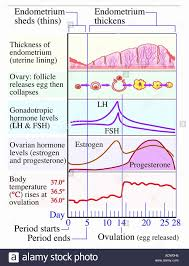 53 Unique Period Hormone Chart