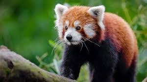 Red Panda Wallpapers - Top Free Red ...
