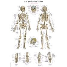 Human Skeleton Wall Chart