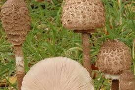 <b>Грибы</b> съедобные - <b>фото грибов</b> с названиями, описание ...