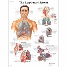 Anatomical Chart Posters The Respiratory System Chart