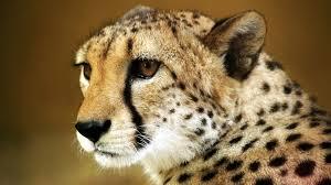 1920x1080 cheetah wallpapers hd free