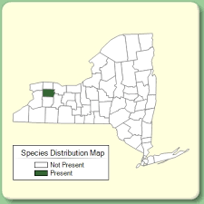 Campanula medium - Species Page - NYFA: New York Flora Atlas