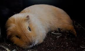 guinea pig sleep everything you need