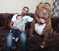pitbull dog attacks man. Beautiful Man An American Pit Bull Sits On A Sofa With Child And Its Owner Intended Pitbull Dog Attacks Man E