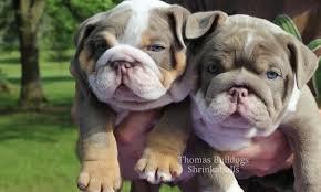 blue bulldog puppies. Unique Bulldog Lilac English Bulldog Puppies For Sale And Blue Bulldog Puppies N