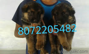 erode puppies for in erode