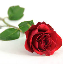 single red rose flower. Beautiful Rose FlowersAndSympathy_SingleStem_SingleRedRose With Single Red Rose Flower O