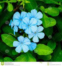 Light Blue Flower Names Light Blue Flower Stock Photo Image Of Light Flora 89140270
