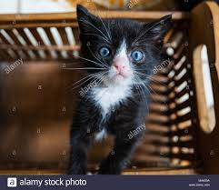 black and white kitten with blue eyes. Modren With Cute Black And White Tuxedo Kitten With Blue Eyes Looking Up From A Basket To Black And White Kitten With Blue Eyes