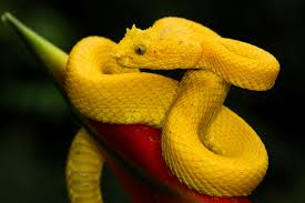 The venom causes a very painful wound that can be fatal. Eyelash Palm Viper The Dallas World Aquarium