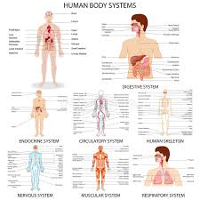 Human Organ Chart Chart Of Different Human Organ System Stock Vector