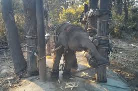 New footage shows <b>baby elephants</b> treated cruelly for tourism trade ...