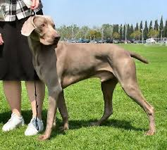 family canidae weimaraner picture also called grey ghost gray ghost weim and weimar pointer