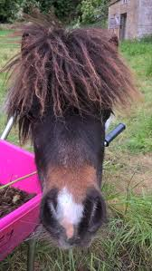 """Elizabeth Graney on Twitter: """"This is my weapon! Ruby the miniature  shetland pony - she is evil lol. She kicked me on the knee earlier so fully  trained to injure or possibly"""