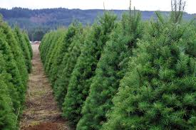 Shop Christmas Trees At LowescomSherwood Forest Christmas Trees