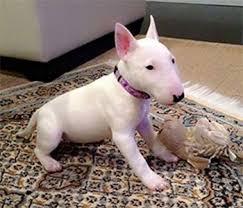 miniature bull terrier mix. Fine Mix Home  Dog Breeds Miniature Bull Terrier On Mix G