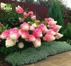 50 vanilla strawberry hydrangea flower seeds for planting in pot or ground easy to grow flower