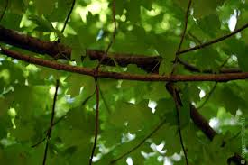 aceraceae acer floridanum florida maple branch with twigs showing opposite leaf arrangement