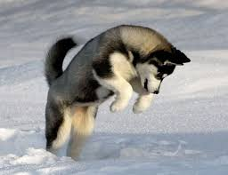 baby husky puppies tumblr. Exellent Husky Husky Pup In The Snow Throughout Baby Puppies Tumblr