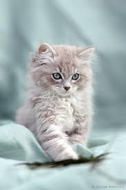 cute fluffy gray kittens. Interesting Cute Intended Cute Fluffy Gray Kittens I