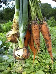 leek plant companions learn about
