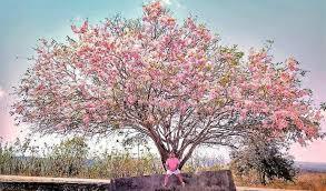 Bunga Sakura Tempat Melihat Bunga Sakura Di Indonesia Yang Tidak Kalah