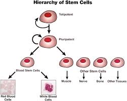 benefits of stem cell research essay stem cells seem speedier in  stem cells lessons teach stem cell biologypop