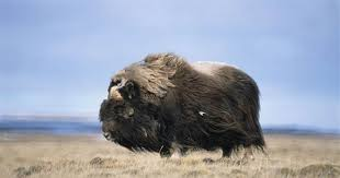 Taurus, used chiefly as a draft animal. Humans Off The Hook For Musk Ox Extinction