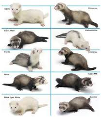 Ferret Color Chart Marshall Ferret Pattern And Color Chart Marshall Ferrets