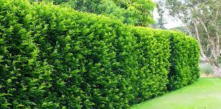 Fast Growing Plants For Privacy Hedges Fast Growing Privacy Plants