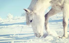 white horses in snow. Simple Horses White Horses In Snow On G