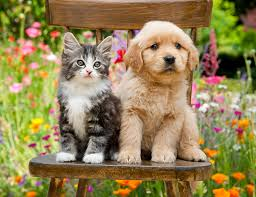 golden retriever puppy and kitten. Simple Puppy KimballStock_DOK 01 RK0671 01_preview Inside Golden Retriever Puppy And Kitten