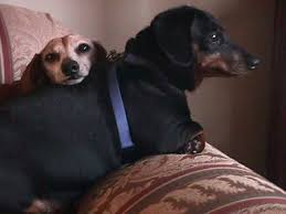 Image result for senior dachshund images
