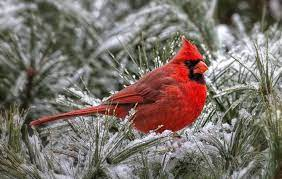 Cardinal Wallpaper on HipWallpaper ...