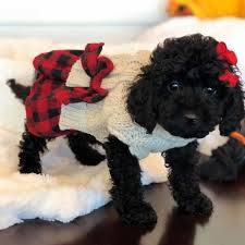 mini doodle dogs labradoodle labradoodles labradoodles labradoodle puppies small