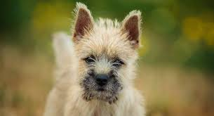 cairn terrier.  Terrier Cairn Terrier With Cairn Terrier R