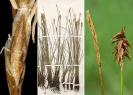 Carex davalliana Sm. - Sistema informativo sulla flora delle Alpi ...