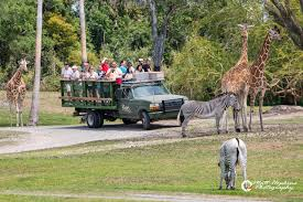 the serengeti safari tour lasts approximately 30 minutes and is on an open air safari truck that takes guests through much of the plain