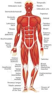 Human Muscles Of The Body Labeled Kids - Human Anatomy Chart
