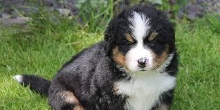 white bernese mountain dog.  Mountain Bernese Mountain Dog Puppy Picture On White