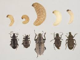 Black Beetle Identification Chart Identifying Soil Beetle Pests Agriculture And Food