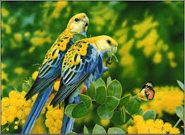 love bird blue parrot pictures images