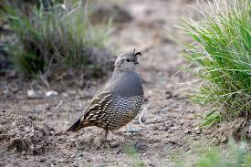 get ations valley quail print bird man cave art hunting birthday gifts for him quail