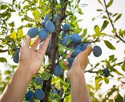 Should I Be Pruning Fruit Trees In SummerCan You Prune Fruit Trees In The Summer