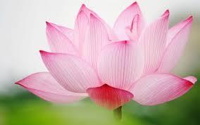 desktop wallpaper flowers high resolution.  High Attachment Picture For High Definition Desktop Wallpapers With Pink Lotus  Flower On Wallpaper Flowers Resolution R